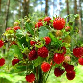 земляника(ягоды и листья)