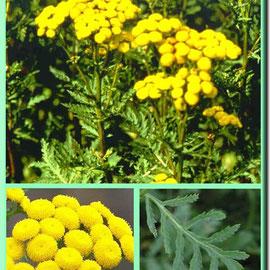 пижма листья/стебли/ цветки (цветет с конца июня по август)