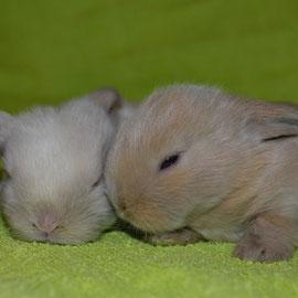 продажа крольчат