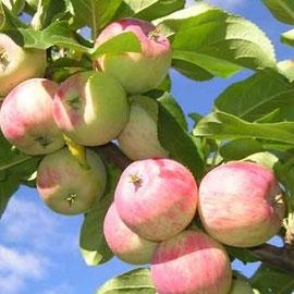 яблоки (желательно не ИМПОРТ!)