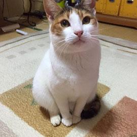 2016.01.30  預かりさん宅の家族として迎えてもらいました♪  猫島での呼び名: わーいちゃん メス 2012年6月頃生まれ?