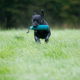 Ivy      (c)Hundefotografie Petra Spoerle-Strohmenger