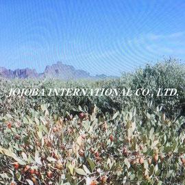 ♔ Happy Thanksgiving Day  JOJOBA INTERNATIONAL CO., LTD.