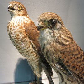 deux faucons pré convention...FALCON ref 7854
