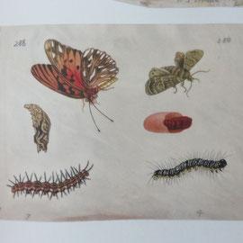 ref 1250 planche entomologie Merian