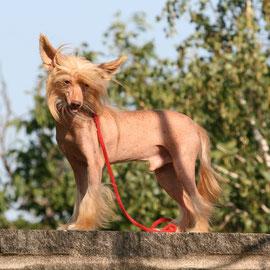 китайская хохлатая собачка Sasquehanna Welon - осветленный шоколад