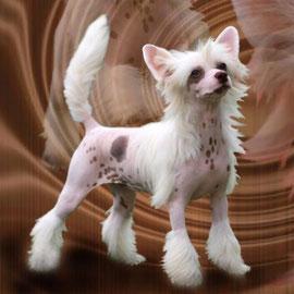 Китайская хохлатая собачка дело-шоколдный окрас