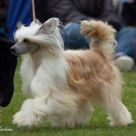Китайская хохлатая собачка Prefix Trafalgar