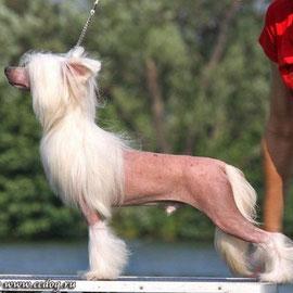 Китайская хохлатая собачка Pippo ze Zatopene Chajdy