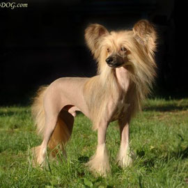 Китайская хохлатая собачка True Magnifisen Discoveri