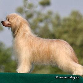 Китайская хохлатая собачка Olegro Katrin Impressive Victory