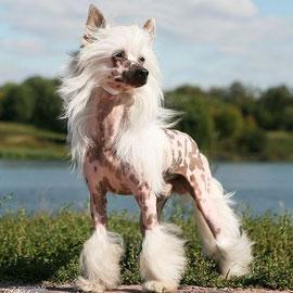 Китайская хохлатая собачка Olegro Katrin Douphin
