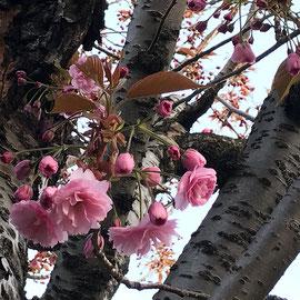 社屋横の八重桜