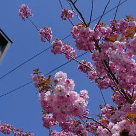 会社近所の八重桜並木(5月中旬)