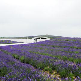 真駒内滝野霊園「頭大仏」を囲うラベンターの丘