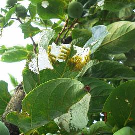 イラムシ(イラガの幼虫)