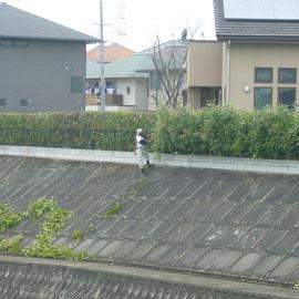 レッドロビン生垣剪定作業中-奈良県香芝市