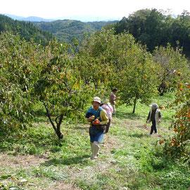 ここまで収穫するのには、晩秋から冬の剪定、春から夏にかけての草刈りに消毒と、苦労も多いのです。