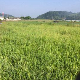 休耕田の草刈り1