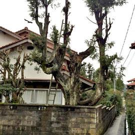 危険木の撤去1