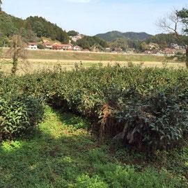 茶の木の撤去と整地1