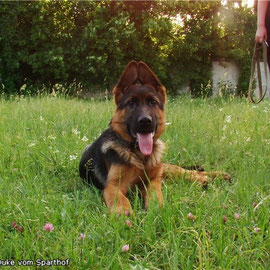 Duke vom Sparthof 3.5 mon    Male FOR SALE / Кобель ПРОДАЕТЬСЯ