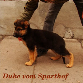 Duke vom Sparthof 2.5 mon Male FOR SALE / Кобель ПРОДАЕТЬСЯ