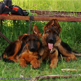 Darsey & Duke vom Sparthof 3.5 mon    Female & Male FOR SALE / Сука и Кобель ПРОДАЕТЬСЯ