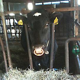 被災地に残された牛。牛も懸命に生きています。