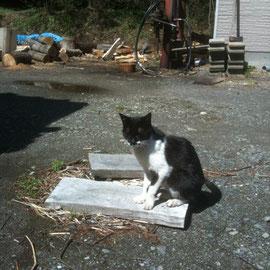ご協力頂いている酪農家様のお家のおばぁちゃん猫「さくら」ちゃん
