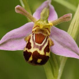 Ophrys apifera var.aurita ( longs pétales supérieurs )