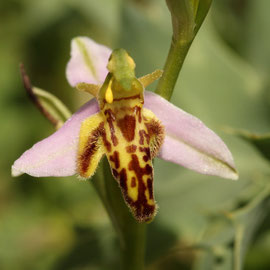 Ophrys apifera trolli ( déformation typique du labelle )