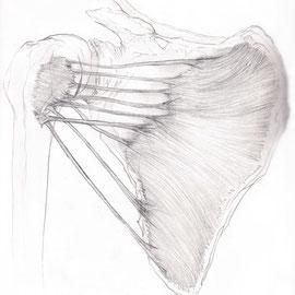 Aquila-images-Boaz-George-medizinische-Illustration-Subscapularis-Muskel