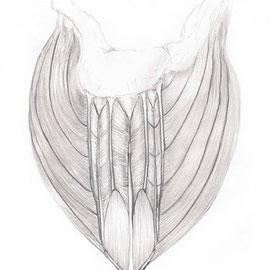 Aquila-images-Boaz-George-medizinische-Illustration-Deltoid-Muskel