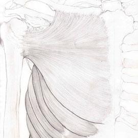 Aquila-images-Boaz-George-medizinische-Illustration-Pectoralis-Major