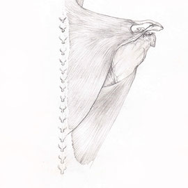 Aquila-images-Boaz-George-medizinische-Illustration-Trapezius-Muskel