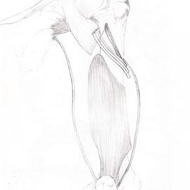 Aquila-images-Boaz-George-medizinische-Illustration-Triceps-Brachii-Muskel