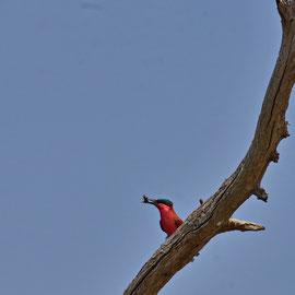Scharlachspint ( carmine bee-eater )