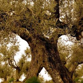 600 Jahre alter Olivenbaum