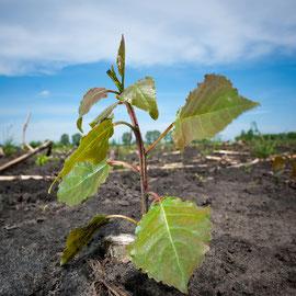 Als Energiehölzer werden Baumarten mit raschem Jugendwachstum und Wiederausschlagsfähigkeit aus dem Wurzelstock, wie zum Beispiel Pappel und Weide verwendet.