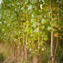 Schnell wachsende Bäume wie Pappeln, Weiden, Robinien oder auch Esche, Erle und Birke sind optimale Energiehölzer.