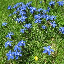 Frühlingsenzian gibts auch in den Pyrenäen