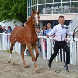 Présentation d'un cheval ARABE lors du show National de Grenade sur Garonne en Mai 2014