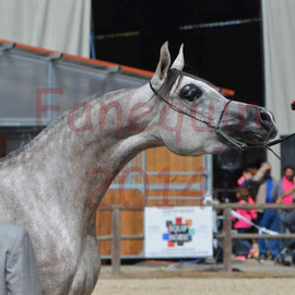Portrait d'un cheval ARABE robe grise lors du show international de Bordeaux en 2014