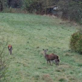 Le bout des bois - wilde herten op het land tegenover de cottage