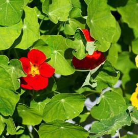 食べられるお花「ナスタチウム」