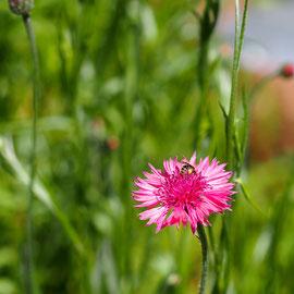 食べられるお花「コーンフラワー」