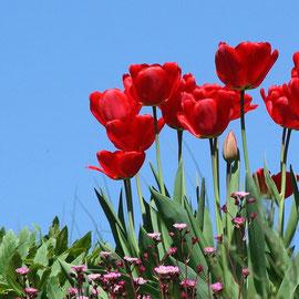 Tulpenensemble