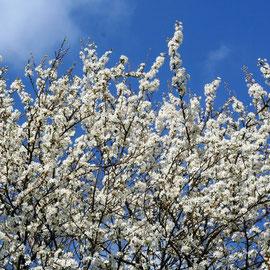 Blühendern Kirschbaum