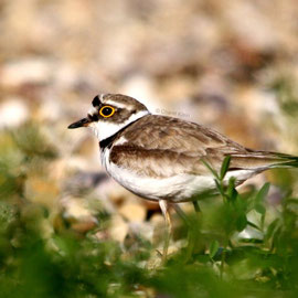 Flussregenpfeifer / Little Ringed Plover (Charadrius dubius)